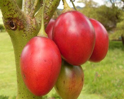 tomate de árbol - Megaplant ecuador
